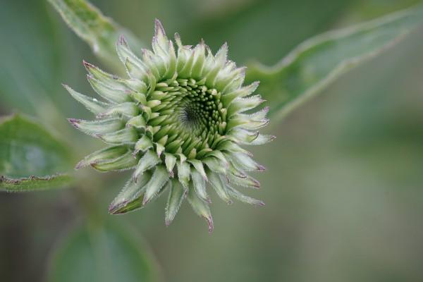 echinacea-purpurea3070FC16-A504-E676-CF2D-A20EA05715B0.jpg